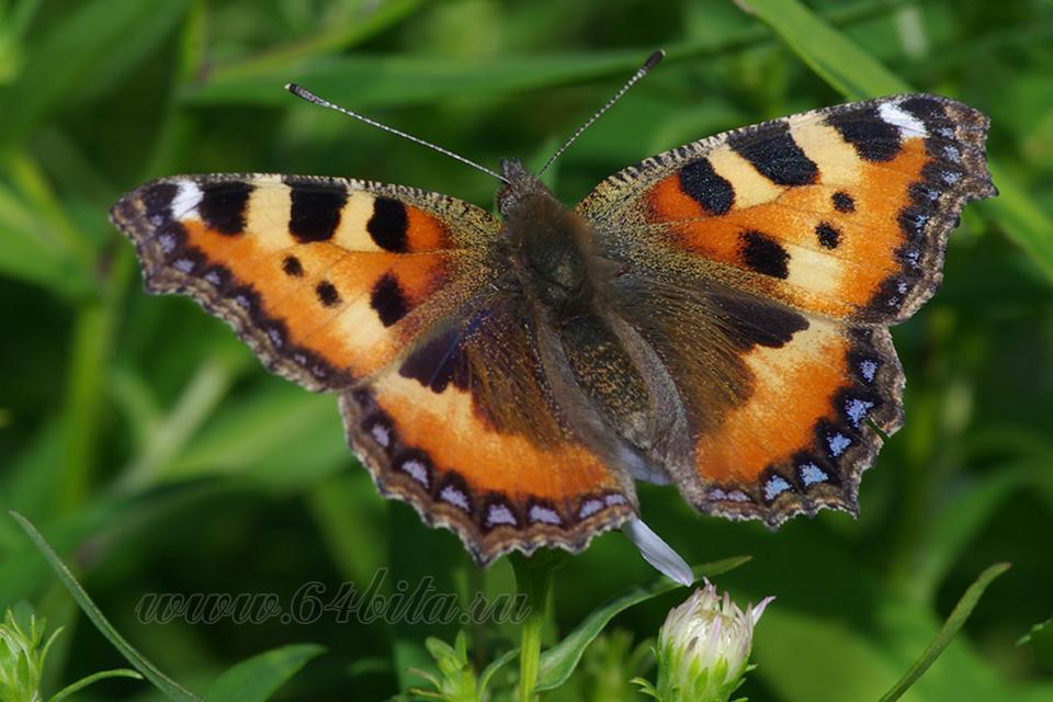 Бабочки башкирии: парусник